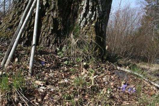Blåsippor och vitsippor i harmoni under stora eken