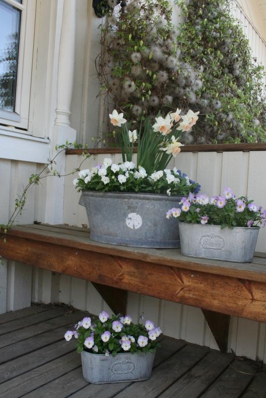 Det här är krukorna jag planterade vecka 12. Har vuxit till sig ordentligt och Narcisserna Katie Heath och primulan Sapphire Blue har slagit ut.
