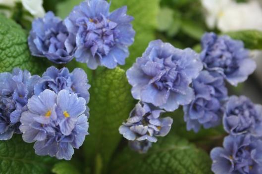Sapphire Blue framodlad av Ulriksdals Trädgård