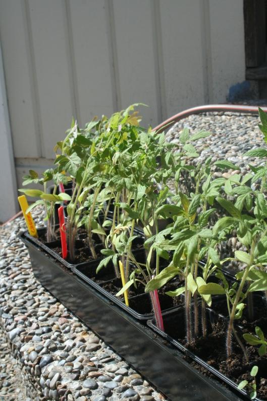 tomatplantor i behov av omplantering