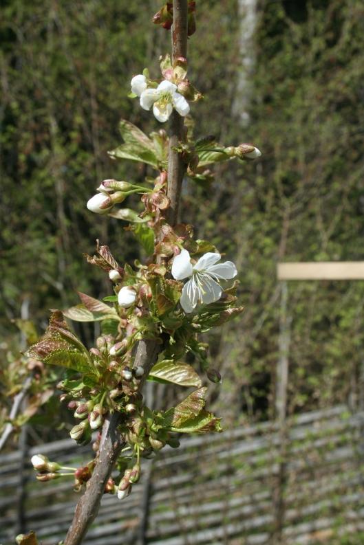 Körsbärsträdet som vi satte för två höstar sedan blommar. Stella