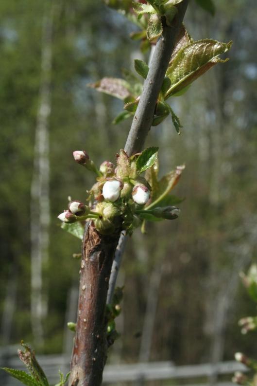 Knoppar på körsbärsträdet av sorten Van.