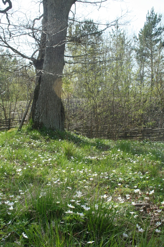 vitsippefält under stora eken