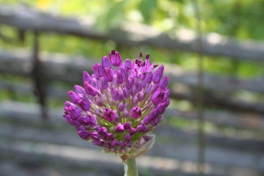 Allium på G