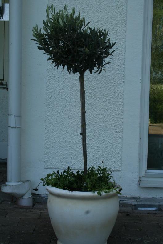 Olivträd i kruka och svarta violer