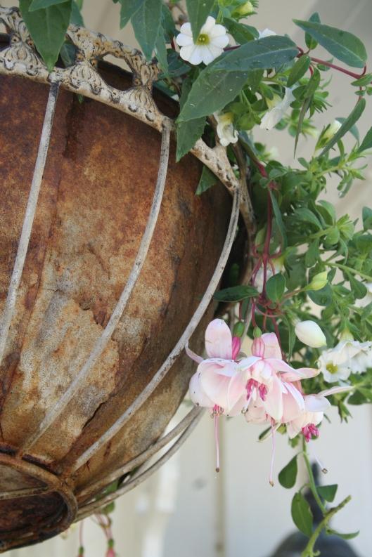 fuchsia och vit petunia i amplarna
