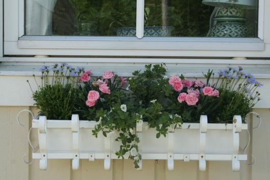 fönsterlådor med tusensköna, nejlika och petunia