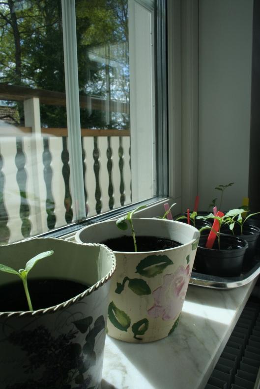 Närmast: solrosor på väg upp och nu i större krukor. Längst bort: små paprikaplantor som såddes för några veckor sedan.