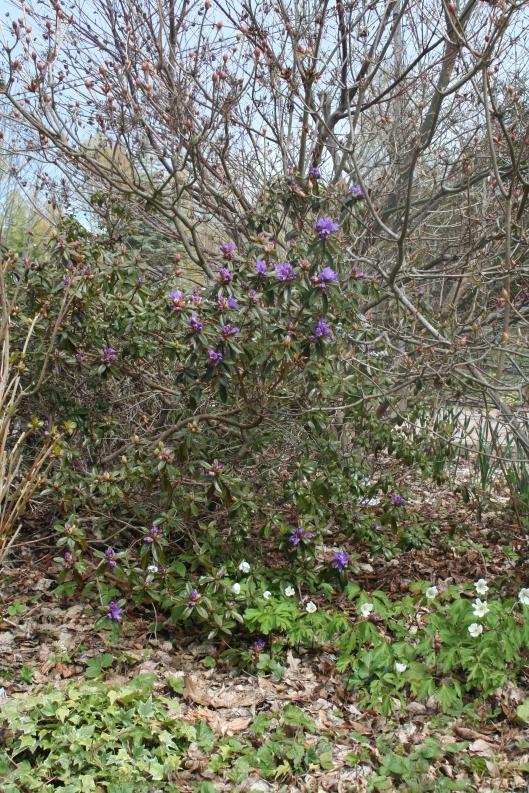 Rhododendron 'Impeditum Select' framför azalea och japansk lönn 'Acer palmatum Atropurpureum'