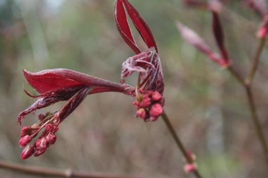 Acer palmatum Atropurpureum. Japansk lönn är vacker när den ska slå ut.
