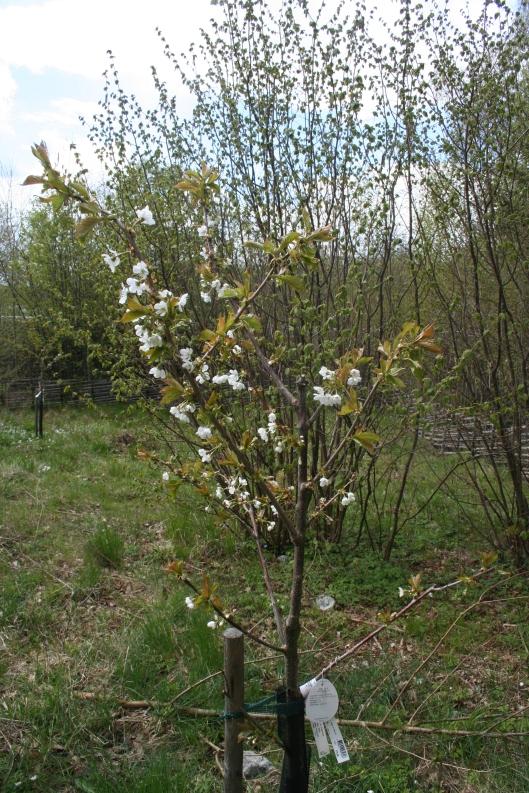 I år hoppas vi på fler körsbär från trädet Stella. Det levererade fem bär första året vilket var ifjol.