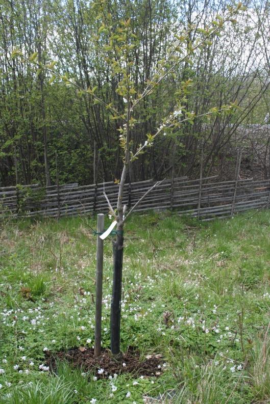 Några färre blommor på Van-trädet men det genererade å andra sidan inga bär förra året.
