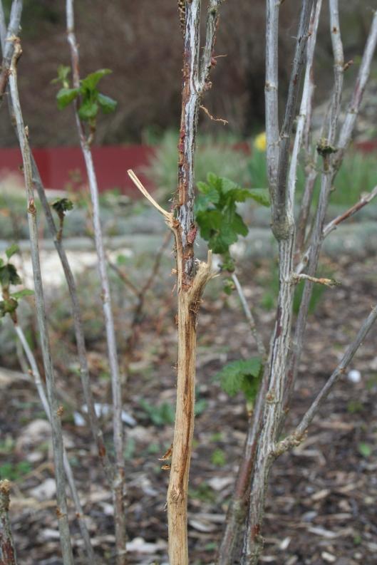Någon har varit och gnagt på svarta vinbärsbusken