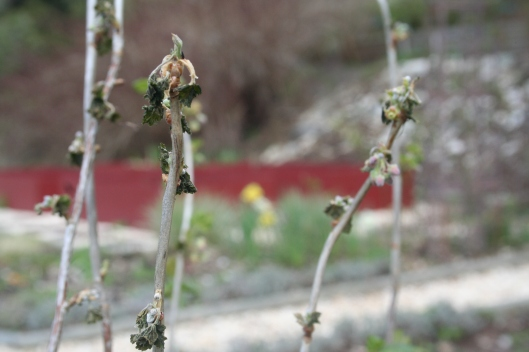 Samma buske ser inte helt frisk ut. Frostskada? Virus?