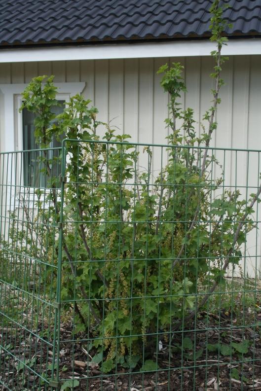 Röda vinbärsbusken ser ut att må bättre.