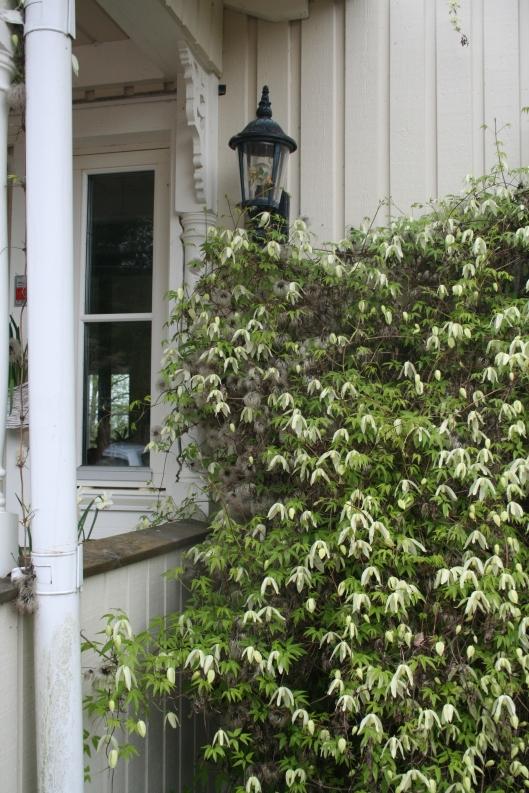 Clematis sibirica, en tidigblommande och tålig klematis