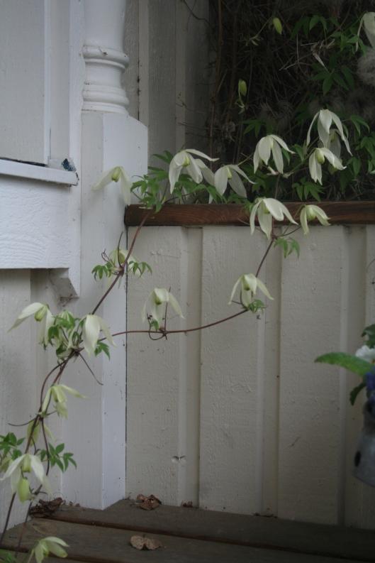 klematisen (Clematis Sibirica) breder ut sig