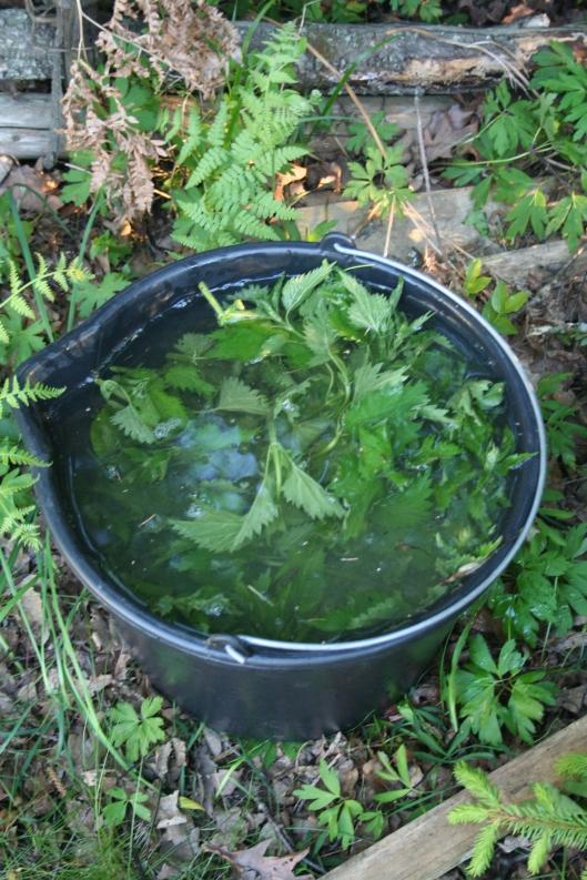 Nässelvatten som är utmärkt gödselvatten för de flesta växter, bl a tomatplantorna. Spädes med ca tio delar vatten. Ställ hinken i ett bortglömt hörn eller sätt lock på för inte luktar det hallon efter ett tag...