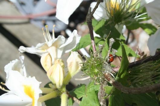 Nyckelpiga på rhododendron Persil.