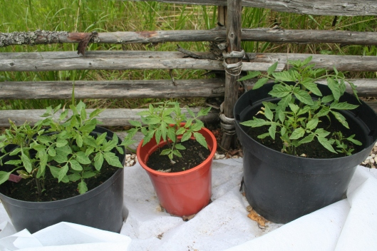 Tomatplantorna har hämtat sig någorlunda efter köldchocken för några veckor sedan. De är på G men kommer nog ta lite tid på sig.
