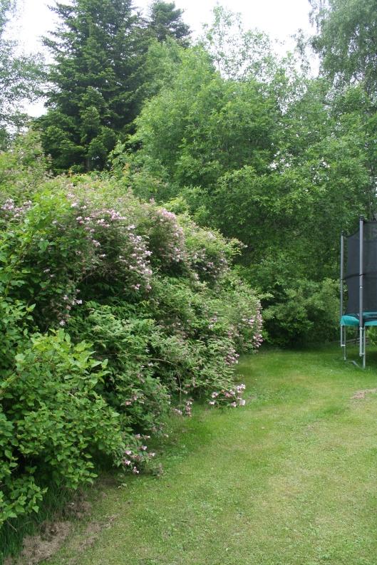 Underbara paradisbusken börjar slå ut