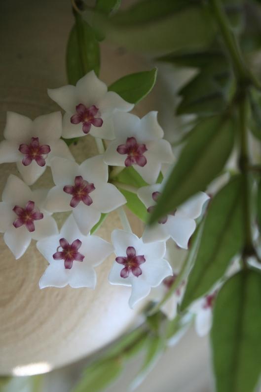 Porslinsblomman blommar inne och doftar underbart
