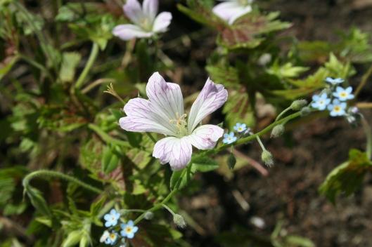 Trädgårdsnäva Katherine Adele. Geranium oxonianum