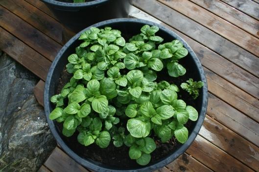 Potatis i baljan växter på fint