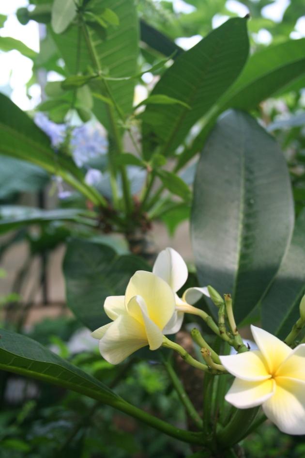 Detta träd med väldoftande vita blommor fanns det många på vårt hotell i Koh Lanta. Thailand-flashbacks.