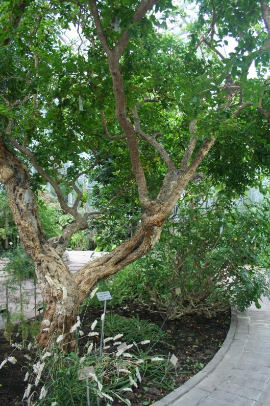 Granatäppleträd