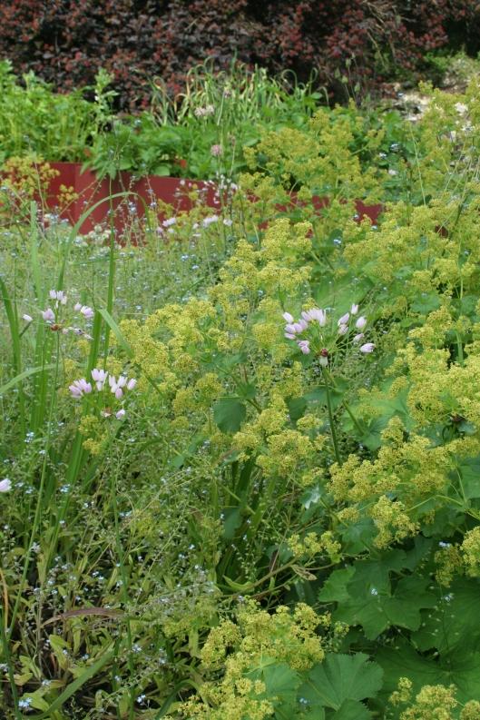 Allium roseum och jättedaggkåpa