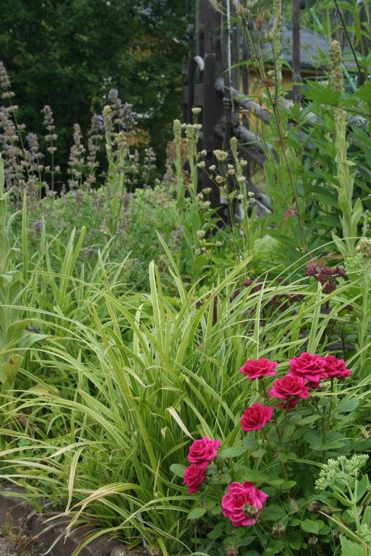 Rosen i förgrunden är en miniros för inomhus som jag efter den blommat över planterat ut i rabatten.