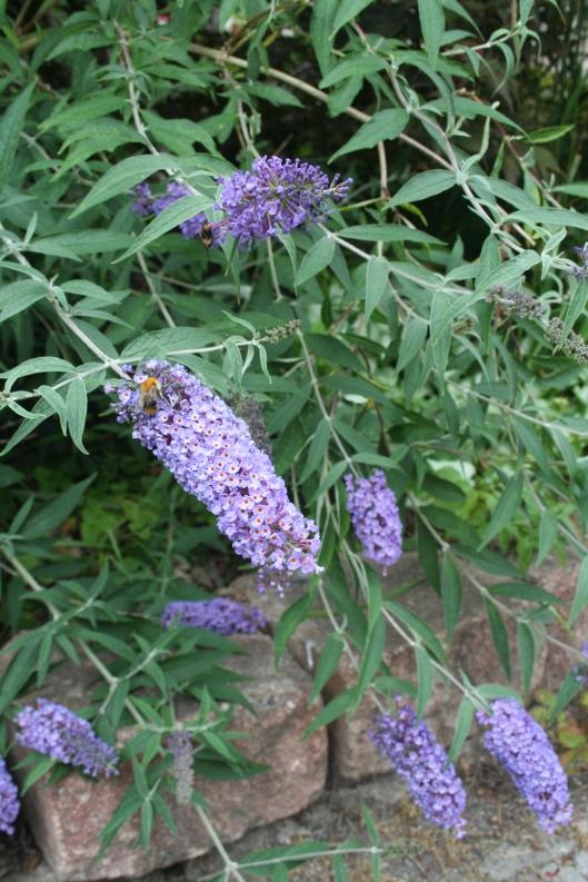 Humlemagnet 4 Syrenbuddleja alias fjärilsbuske