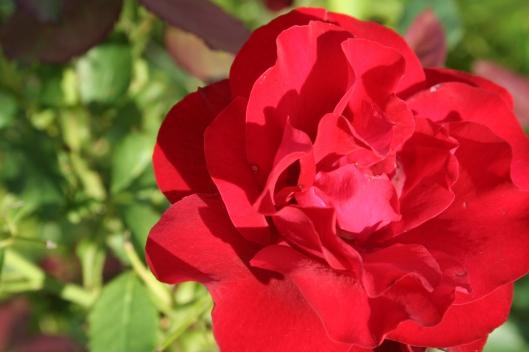 Okänd röd ros