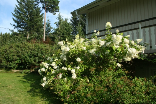 Syrenhortensia Grandiflora och Vidjehortensia Anna Belle