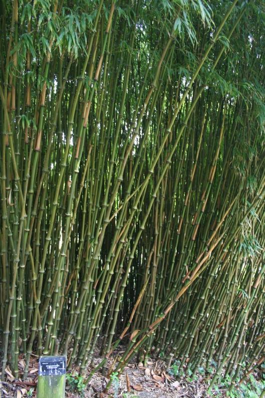 Bambu Chimonobambusa tumidissinoda