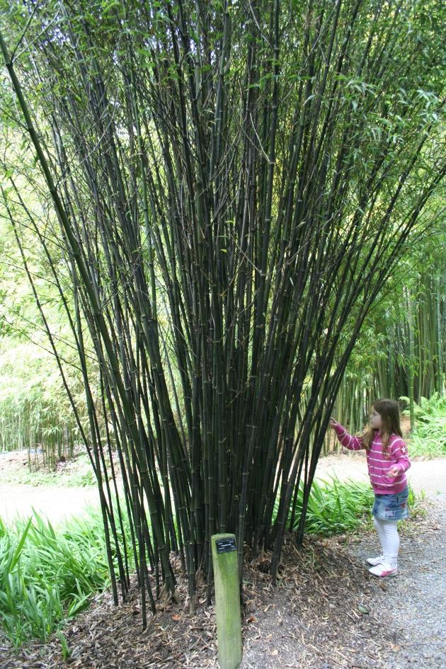 Bambu Phllostachys nigra