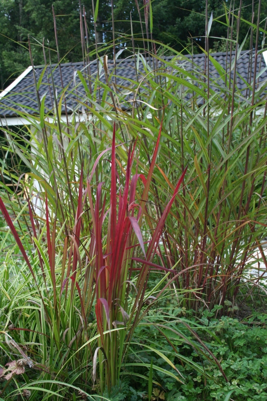 "Imperata cylindrica ""Red baron"" i förgrunden, Miscanthus sinensis i bakgrunden"