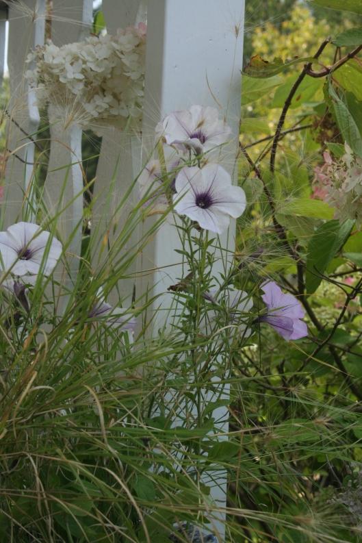 Petunia och ekorrgräs