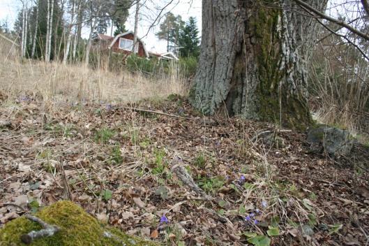 Framförallt trivs blåsipporna under stora eken.