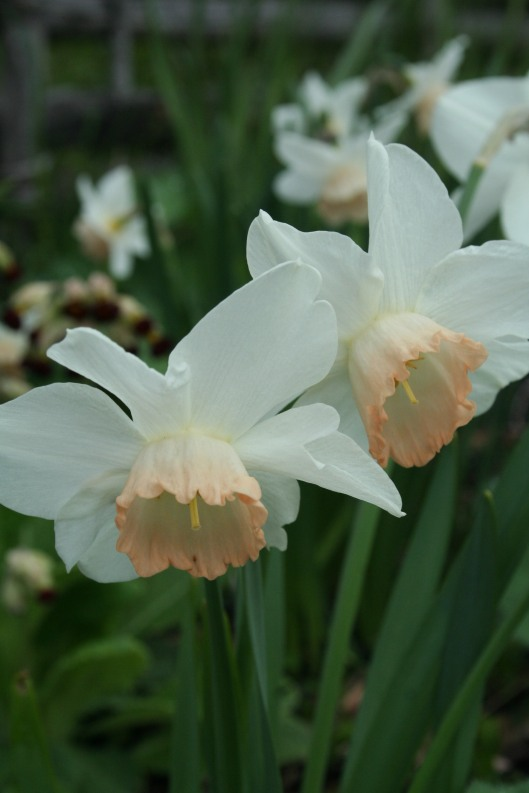 Narcissus Pink Pride