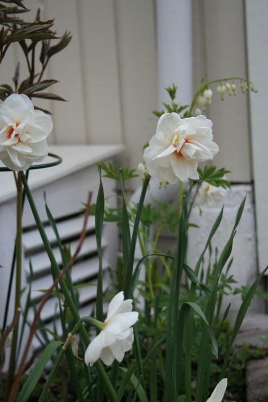 Narcissus Acropolis och vit löjtnantshjärta