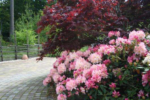 Rhododendron 'Percy Wiseman' framför japansk lönn