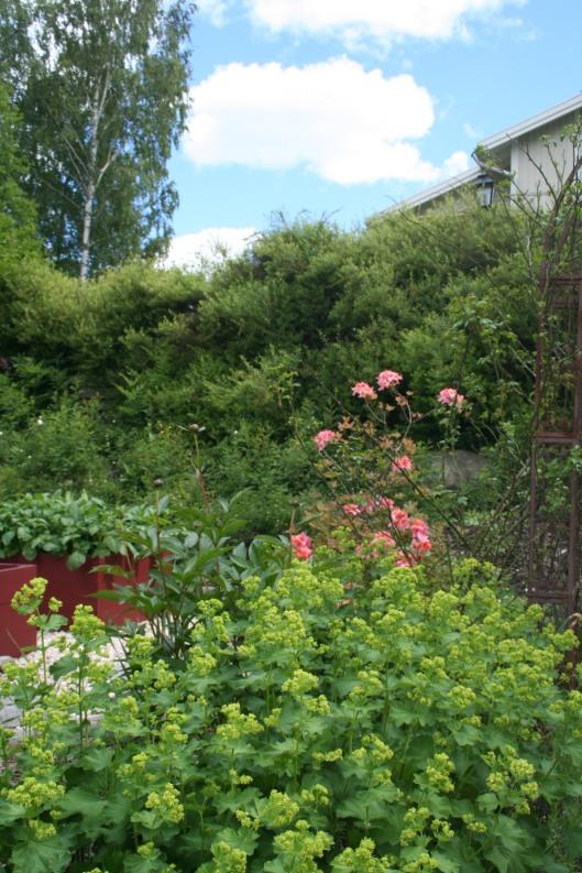 Jättedaggkåpa och rosa azalea