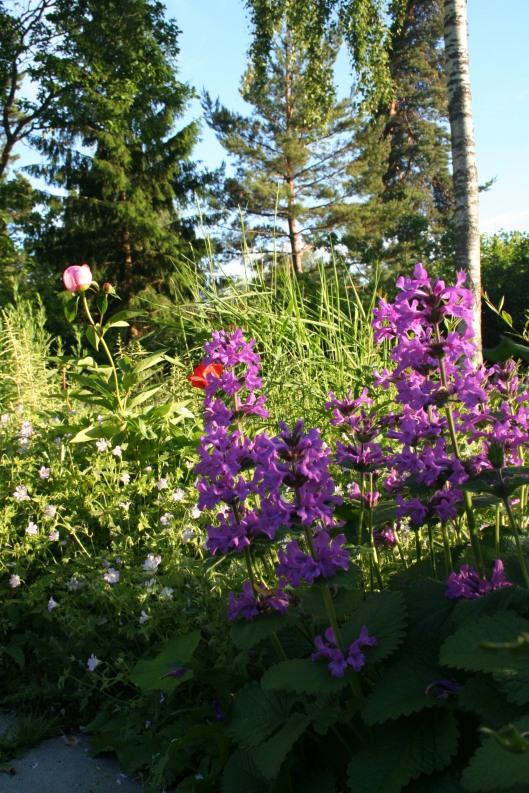 Pion, vallmo, praktbetonika och trädgårdsnäva